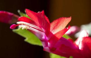 Blüte Weihnachtskaktus Rot Nah