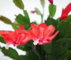 Blüte Weihnachtskaktus Rot