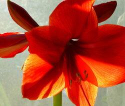 Blüte Rot Amaryllis