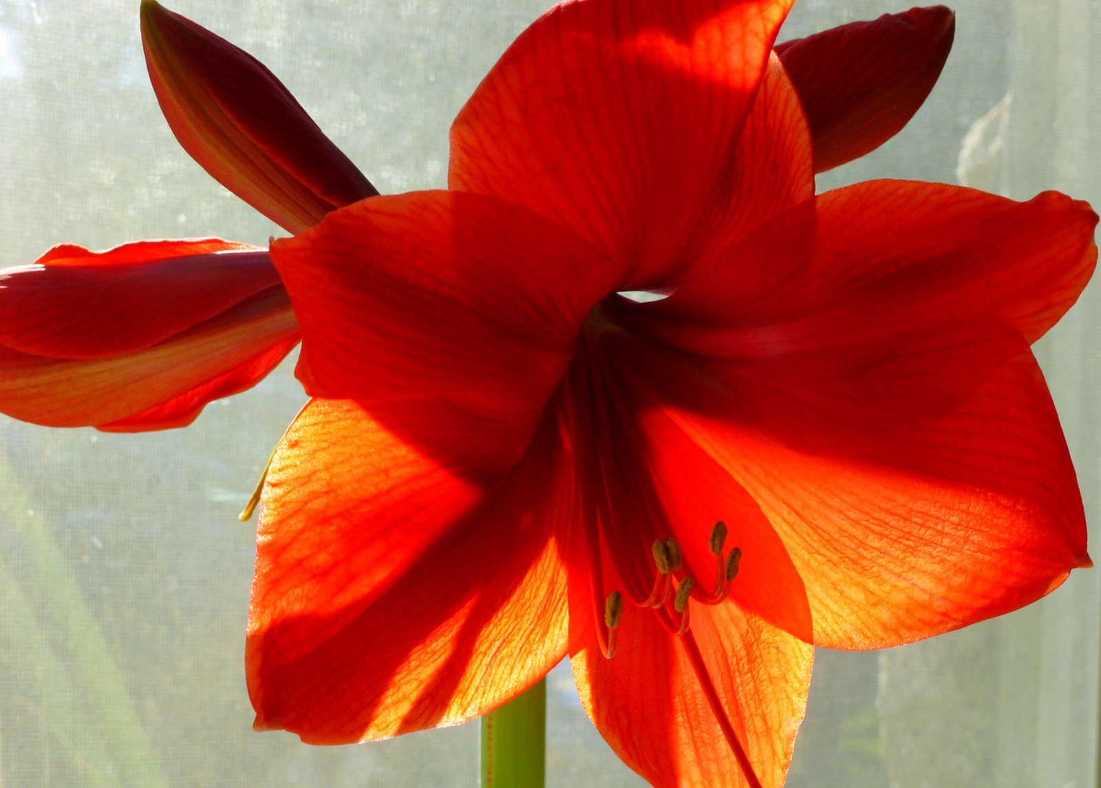 amaryllis mit 6 bluten