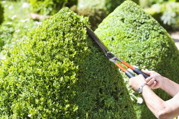 Buchsbaum schneiden: Experten-Tipps zu Zeitpunkt & Vorgehen