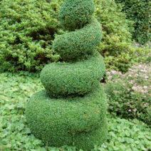 Buchsbaum Spirale