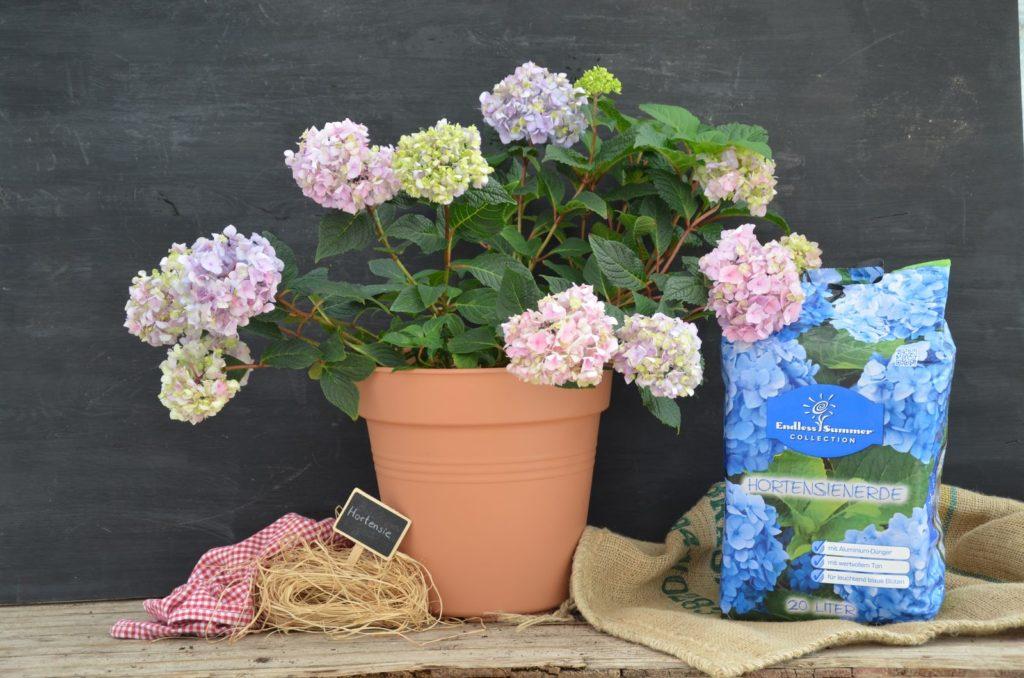 hortensien vermehren ableger und stecklinge plantura. Black Bedroom Furniture Sets. Home Design Ideas