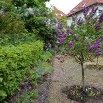 Flieder Als Hochstamm Im Garten