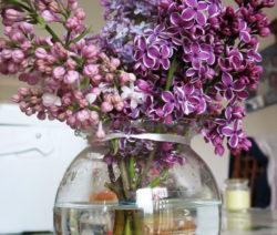 Flieder In Vase