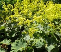 Gelber Frauenmantel Im Garten