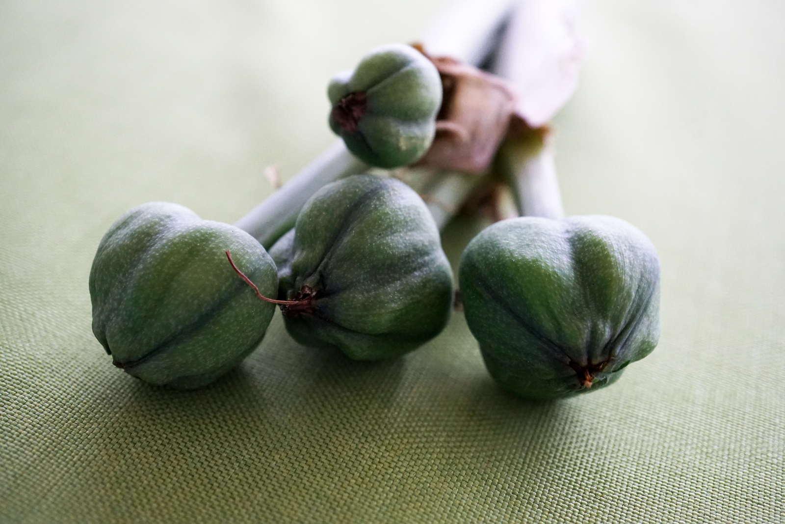 Amaryllis Aus Samen Ziehen Und Selbst Vermehren Plantura