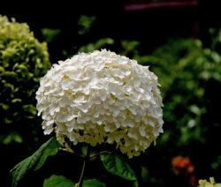 Hortensie Arborescens Weiße Blüte