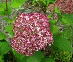Hortensie Arborescens Rote Blüten