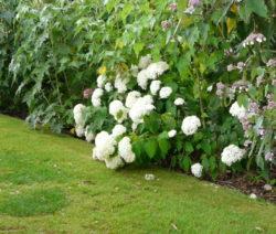 H. Arborescens Weiße Blüten Zu Schwer