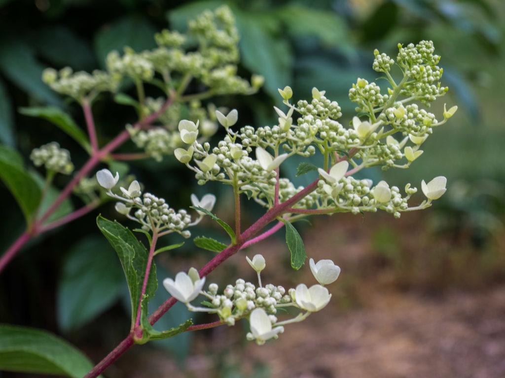 H.-paniculata-Blühbeginn