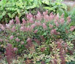 H. Paniculata Herbst Verwelkte Blüten