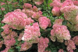 H. Paniculata Verfärbung Rosa