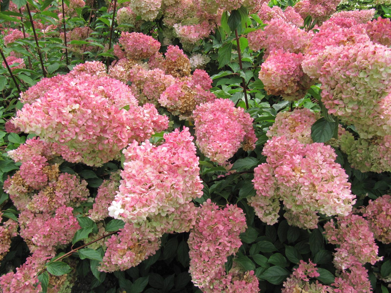 Hortensien Vermehren Ableger Und Stecklinge Plantura