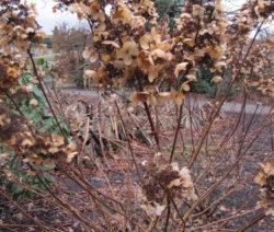 Hortensie Paniculata Winter