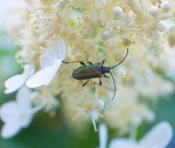 Hortensie Paniculata Fertile Blüten Mit Käfer