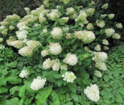 Hortensie Paniculata Volle Blüte