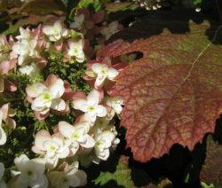 Hortensie Quercifolia Blüte Und Blatt