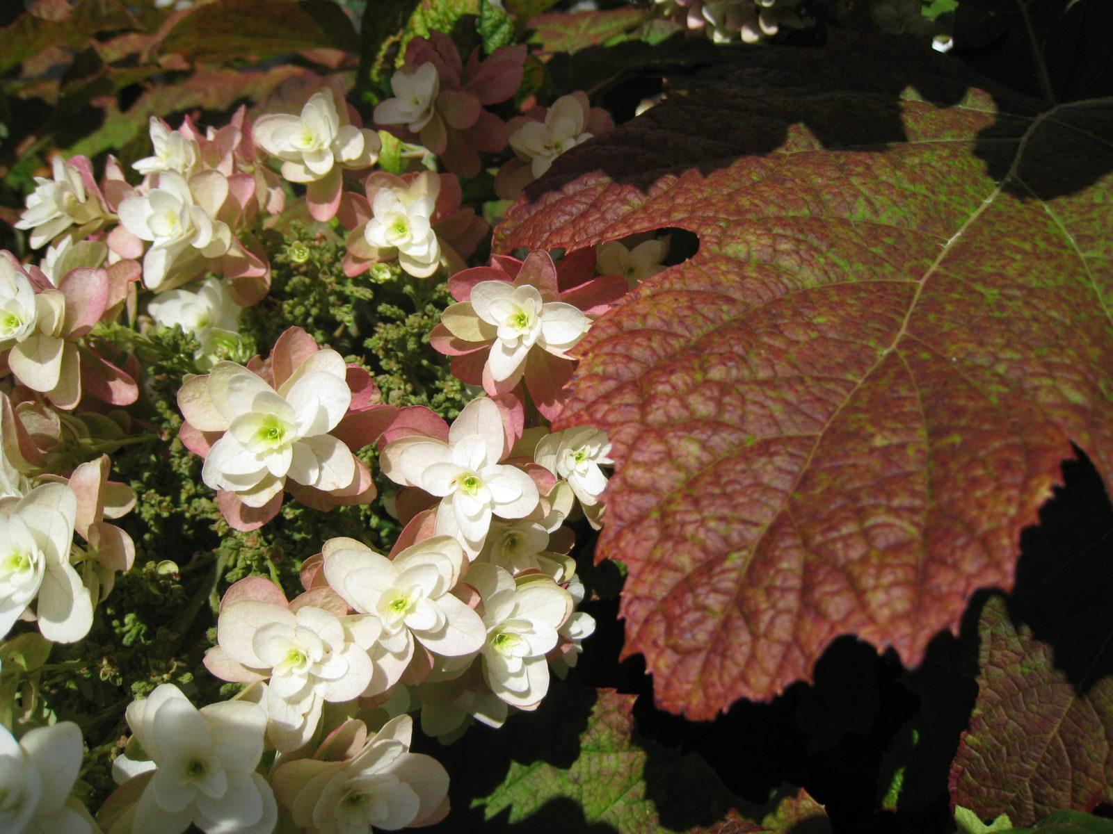 Hortensien Schneiden Wann Und Wie Zuruckschneiden Plantura