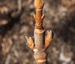 Hortensie Quercifolia Blütenanlage