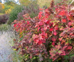 Hortensie Quercifolia Herbst Rotes Herbstlaub