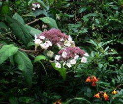 Hortensie Sargentiana Im Garten Mit Orangen Blumen