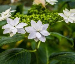 H. Serrata Gefüllte Weiße Blüte