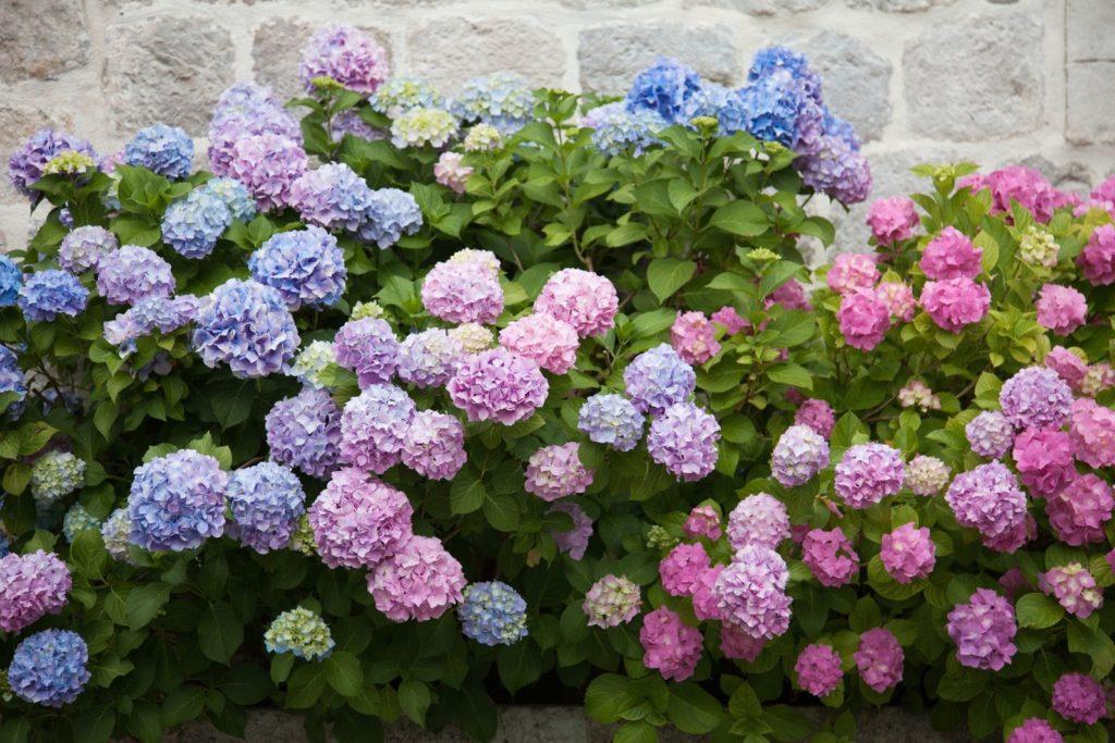 Hortensien an Mauer im Garten rot zu blau