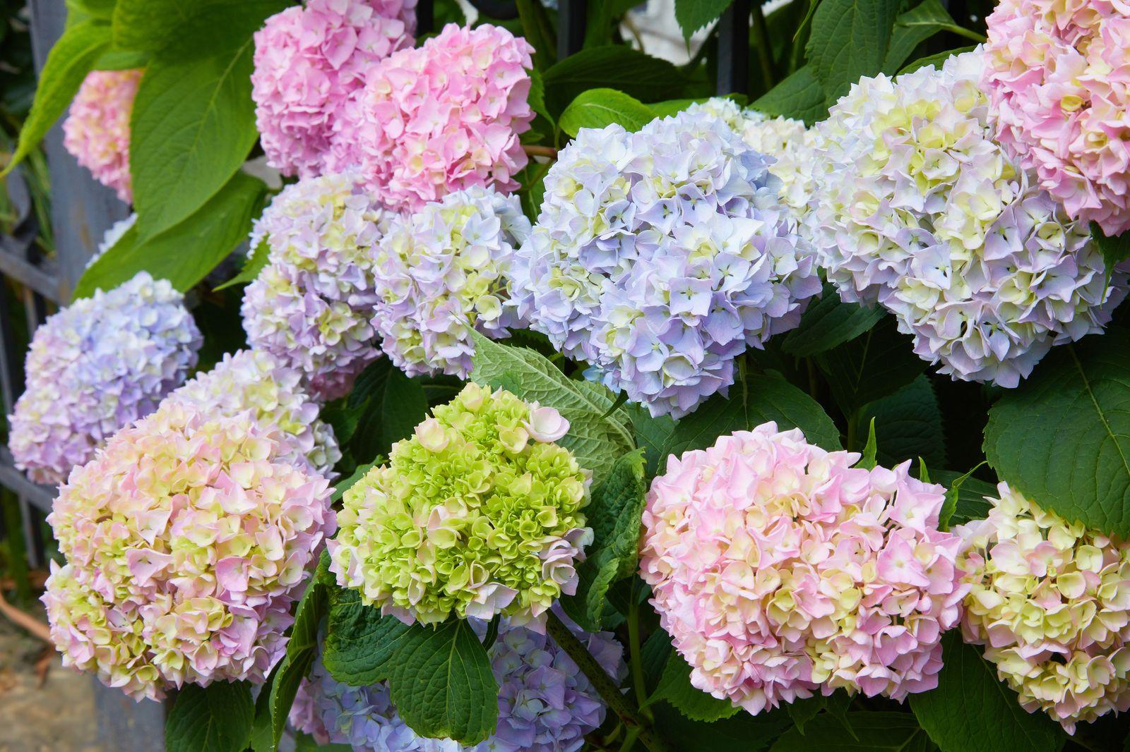 Hortensienarten: Die schönsten Hortensiensorten für prächtige Blüten