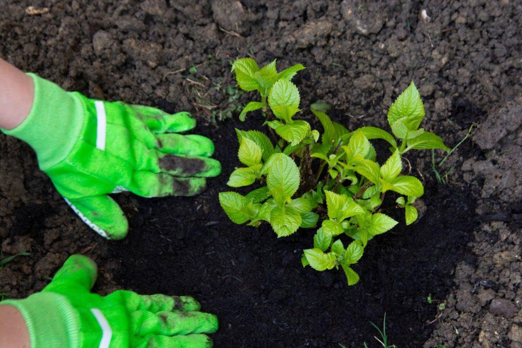 Hortensie einpflanzen