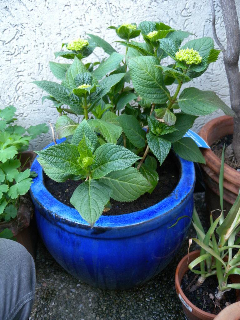 Hortensien im Topf mit geschlossenen Blüten