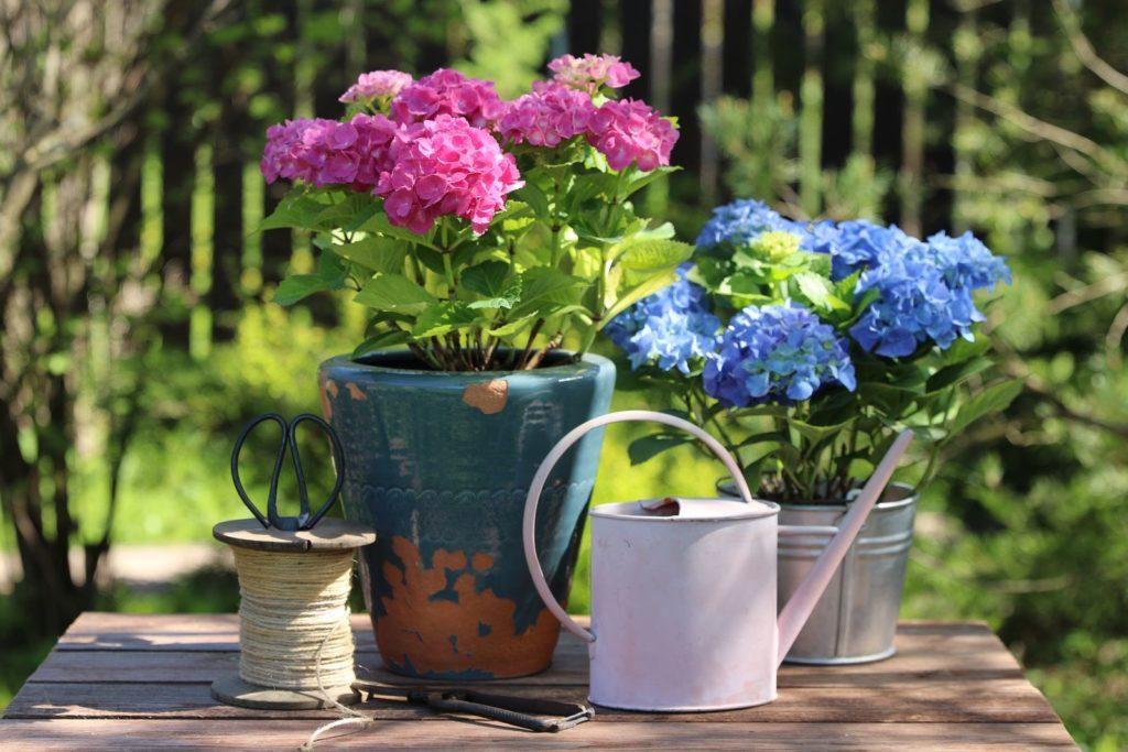 Hortensien Gießkanne gießen rote und blaue Hortensien im Topf im GArten