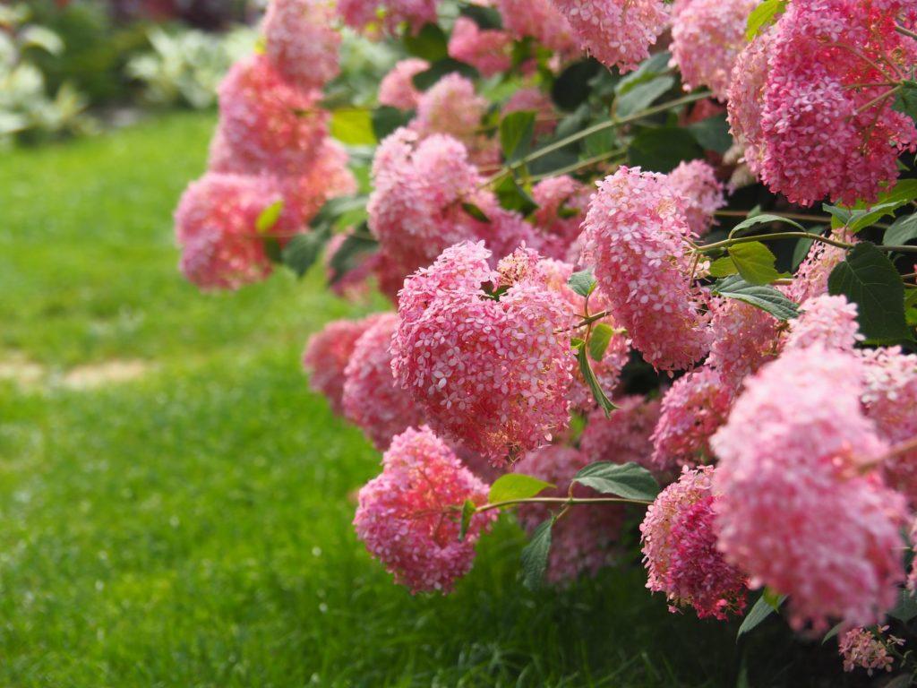 Hortensien neigen die Köpfe zu Boden