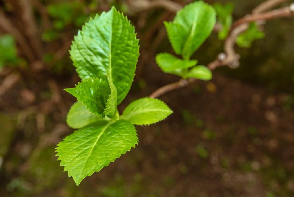 Hortensienast mit Blättern