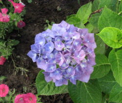 Hydrangea Forever & Ever Blau