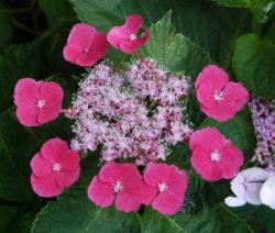 Hydrangea Macrophylla - Zaunkoenig Pinke Hortensie