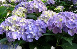 Hydrangea Macrophylla Blau Hortensie