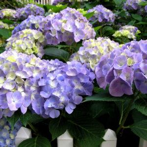 Hortensien: Expertentipps Zum Pflanzen, Pflegen & Schneiden