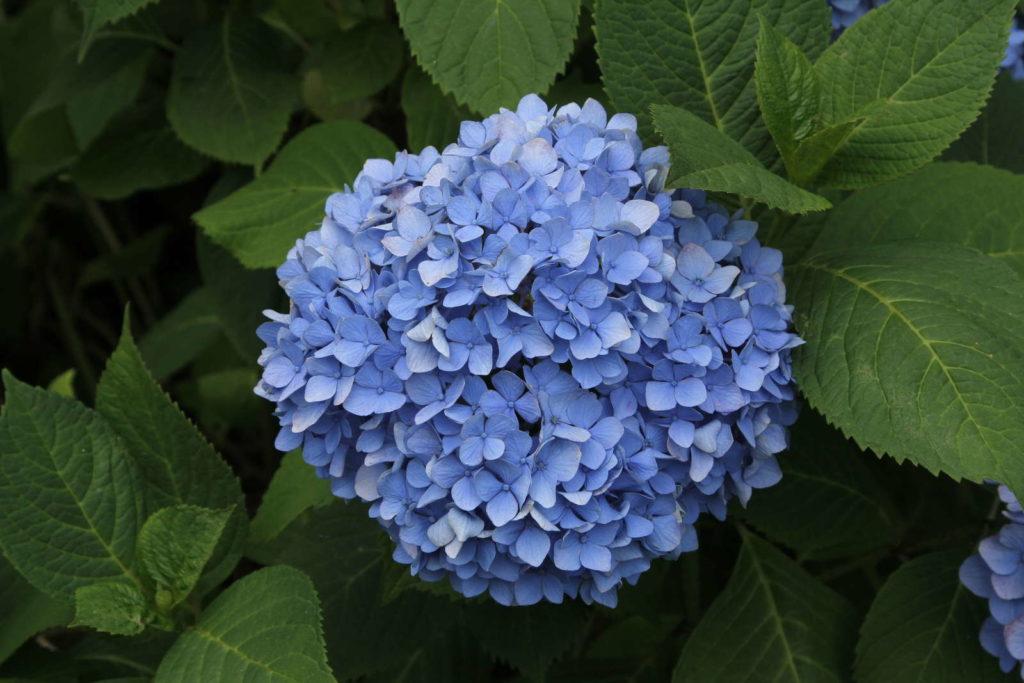 Hortensie blau Blüte Garten färben mit Dünger