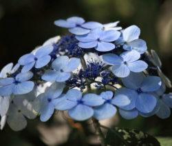 Hydrangea Macrophylla Blau 6