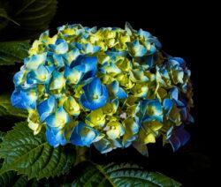 Hydrangea Macrophylla Blaugelb Hortensie