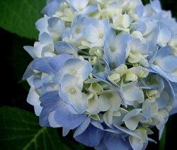 Hydrangea Macrophylla 'endless Summer' Blau