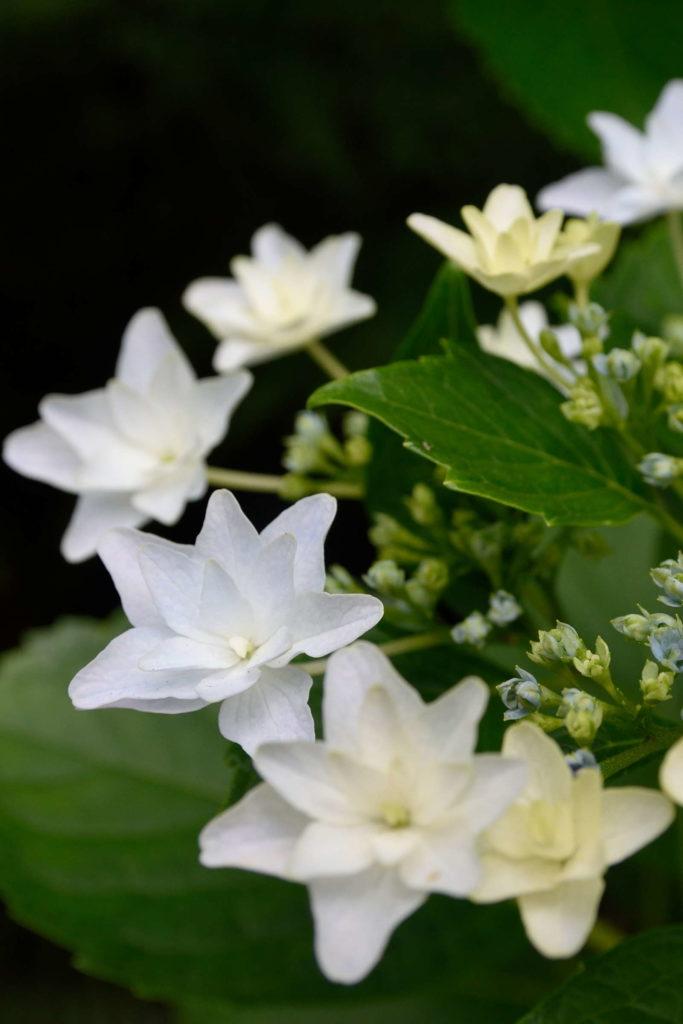 Hydrangea macrophylla hanabi weiße Hortensie