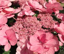 Hydrangea Macrophylla Rosa Hortensie
