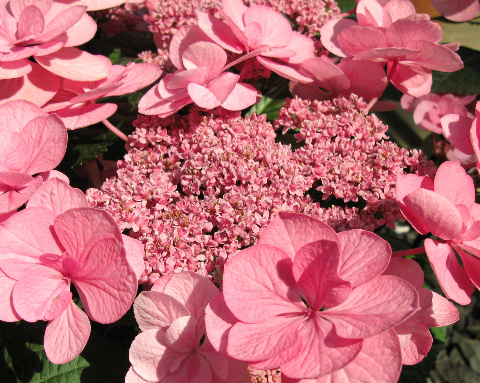 hortensie pink great ustrawberry fieldsu deutzia hybrida. Black Bedroom Furniture Sets. Home Design Ideas