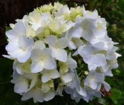 Hydrangea Macrophylla Weiß (2)