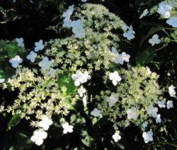 Hydrangea Petiolaris Weiße Blüten Hortensie