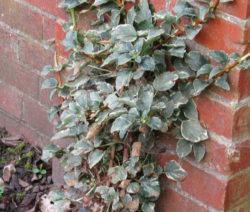 Hydrangea Petiolaris 'Silver Lining' Hortensie
