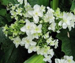 Hydrangea Quercifolia 'Snowflake' Weiße Hortensie