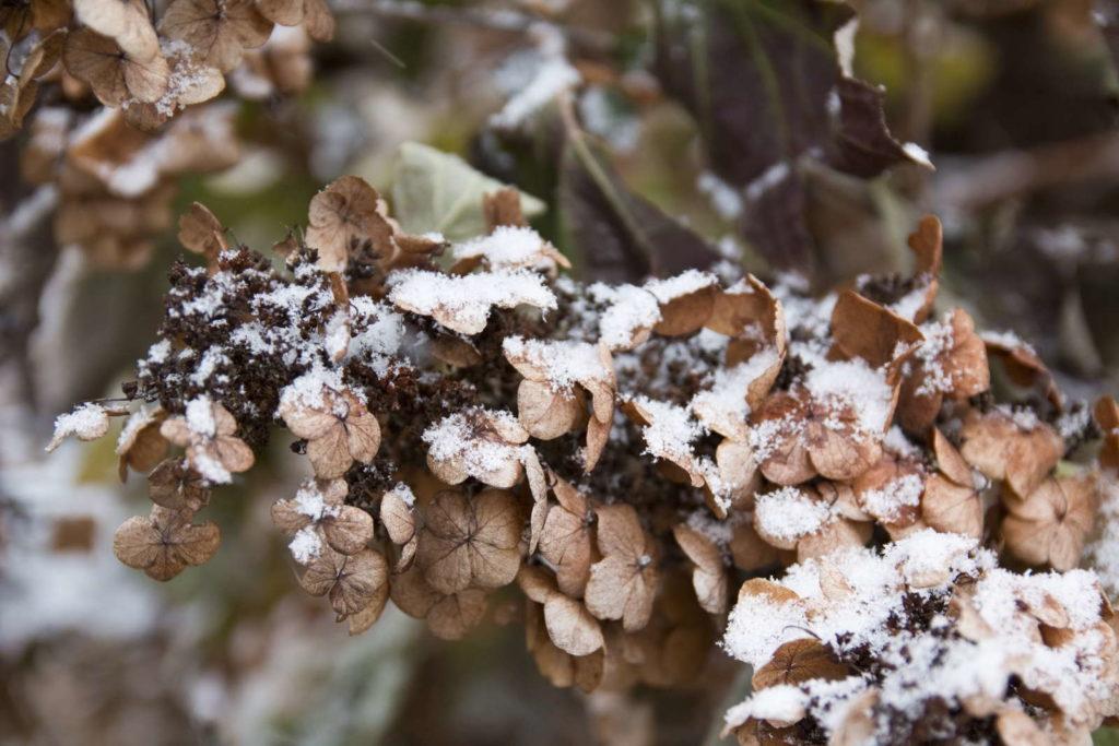 Hydrangea quercifolia winter